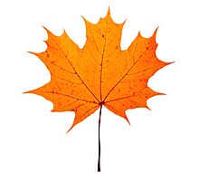 autumn maple-leaf Photographic Print