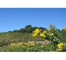 Sonoma California Vineyard With Daisies Photographic Print