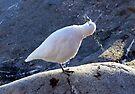 Snowy Sheathbill by John Douglas