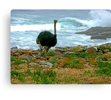 Ostrich, Cape Point Nature Reserve, South Africa Canvas Print
