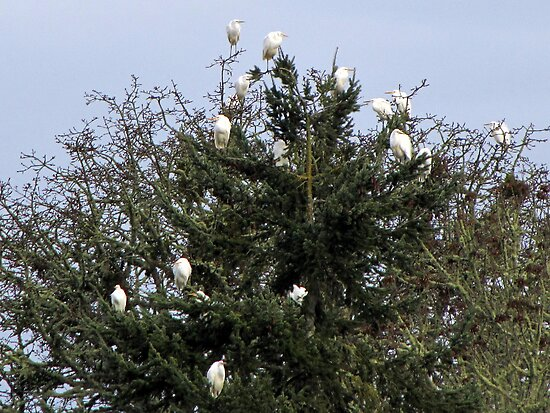 Egrets in a Pine Tree by Chuck Gardner