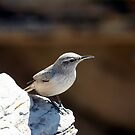 Rock wren by Chris Clarke