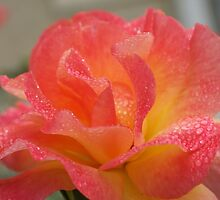 Rose of friendship - open and receiving the morning dew! Lee Family Garden by leih2008
