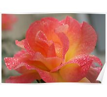 Rose of friendship - open and receiving the morning dew! Lee Family Garden Poster
