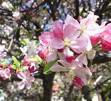 Crabapple Blossoms by Idoru