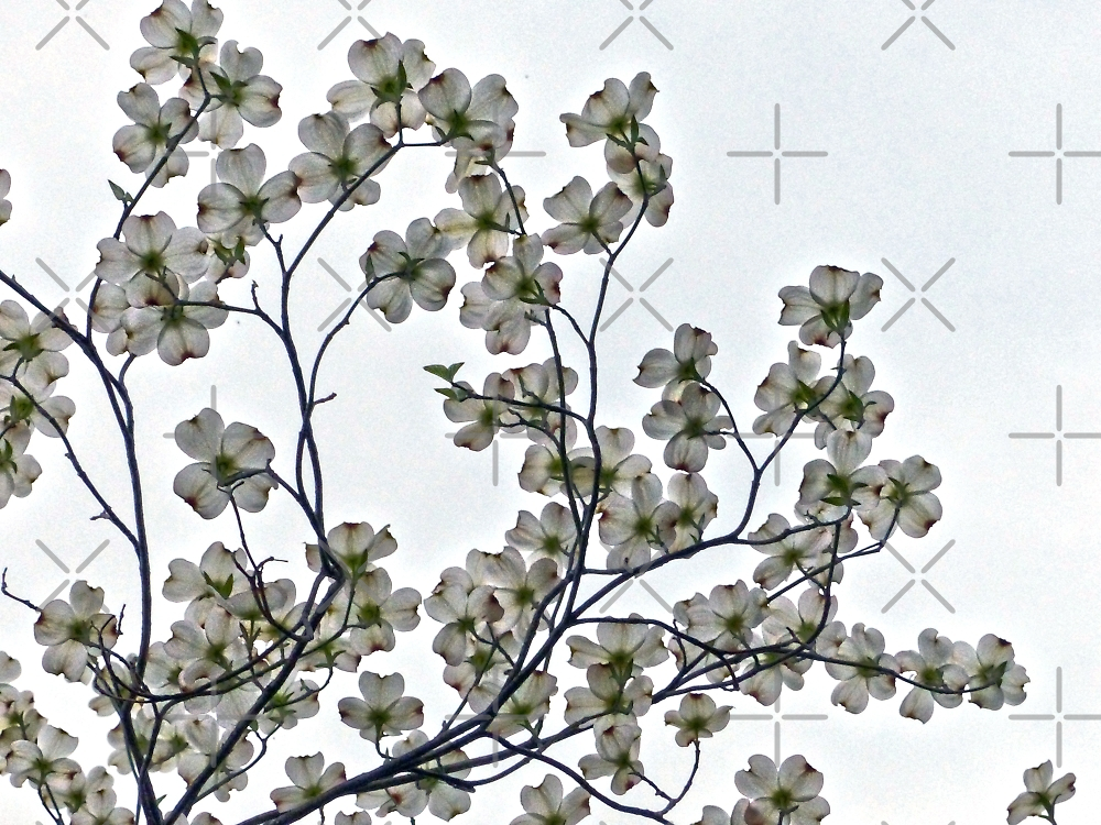 White Dogwood by Susan S. Kline