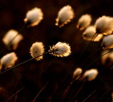 Cottongrass by Bern McAllister