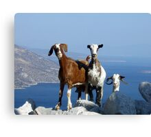 Happy Goats Canvas Print