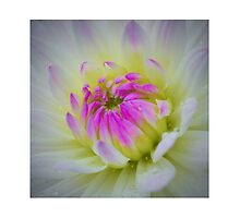 Glorious Appearing; White Dahlia with Lavender Hued Center by Godisgr8t2me