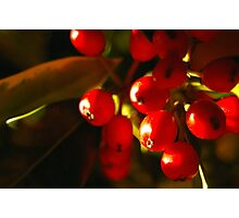 Sweet Holly Photographic Print