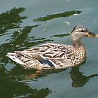 Mallard Duck by TedsPhotos