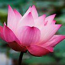 Pink Beauty by Steven  Siow