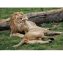 Lion Love Photographic Print