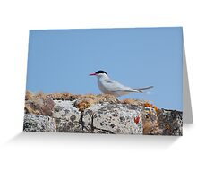 Antarctic Tern In The Rookery Greeting Card