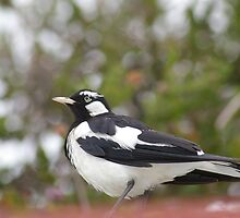 Murry magpie by janfoster