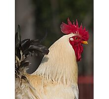 rooster in the farm Photographic Print