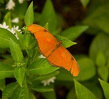 Orange Butterfly by Jay Gross