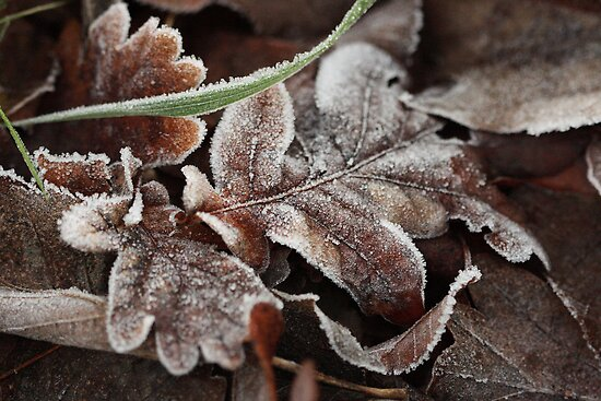 Winter Oak Leaf by Lucy Hollis