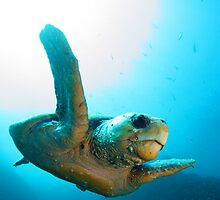 Loggerhead Turtle by Aengus Moran