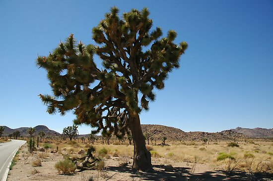 Joshua Tree National Park, Big Joshua by Brendan Schoon