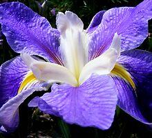 iris by ajax