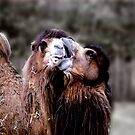 Camel Kiss by Wayne King