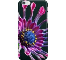 African Daisy (Osteospermum) iPhone Case iPhone Case/Skin