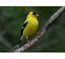 Male Yellow Finch Photographic Print