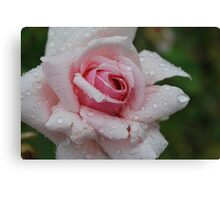 Rosa 'Mme Abel Chatenay Canvas Print
