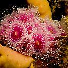 Pink Beauty by Allan Saben