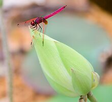 Beauty & The Dragon (Who Is Not Flying) by Steven  Siow