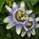 Passionfruit flower by AmandaWitt