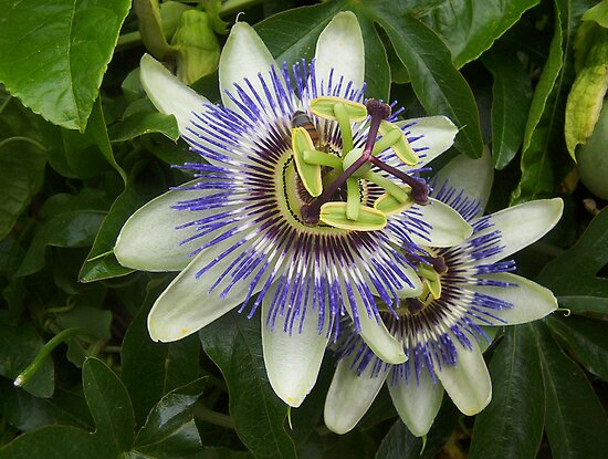 Passionfruit flower by AmandaWitt
