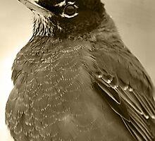 American Robin sepia tone by arcadian7