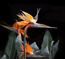 Bird of Paradise by Sandy Keeton