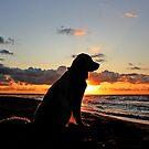 My Golden Retriever Ditte in the sunset by Trine