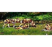 African Wild Dog Family Photographic Print