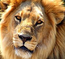 Male Lion up Close by Kevin Jeffery