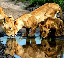 Reflections of Lions by Kevin Jeffery