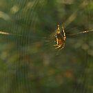 Golden Spider Dreams  by steppeland