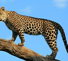 Leopard standing in a tree by Kevin Jeffery