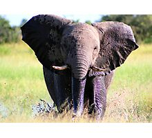 Young Elephant Bull Charging Photographic Print
