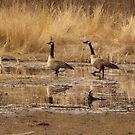 Grumpy Geese by TingyWende
