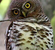 Barred Owl by Kevin Jeffery