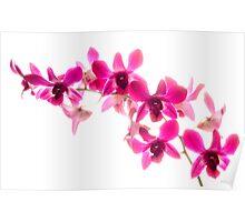 Phaelenopsis Pink Poster