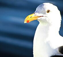 Seagull by litosing