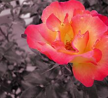 A rose that pops by happyphotos