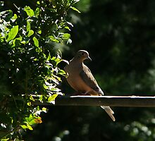Mourning Dove by Maggie Lee
