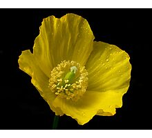 Welsh Poppy Photographic Print