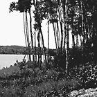 Birches by John  Lambert